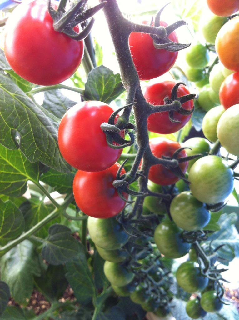 ベランダで育てるミニトマト