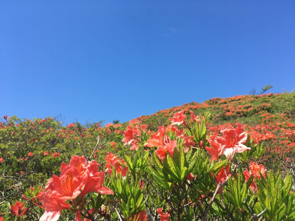 前鉢伏山のレンゲツツジ