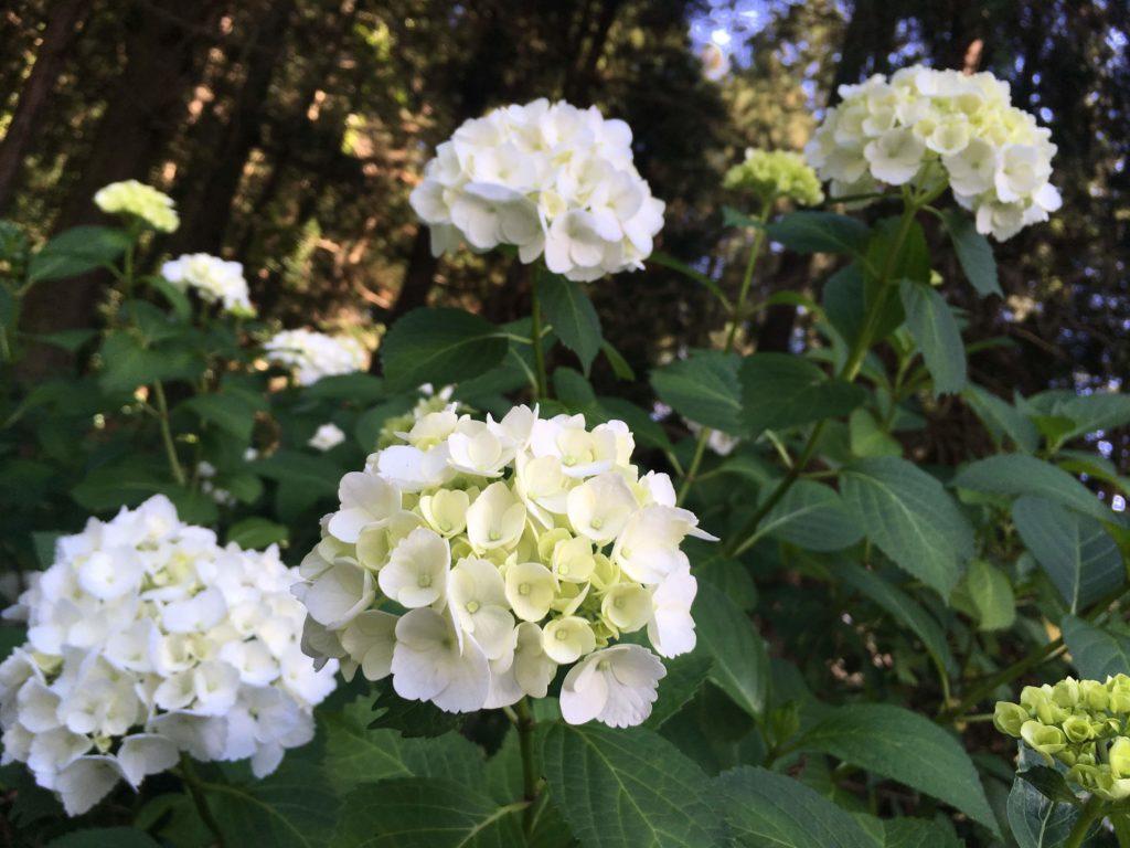 弘長寺の白いアジサイ