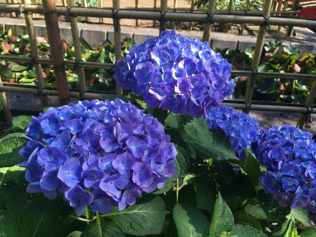 弘長寺の紫のアジサイ