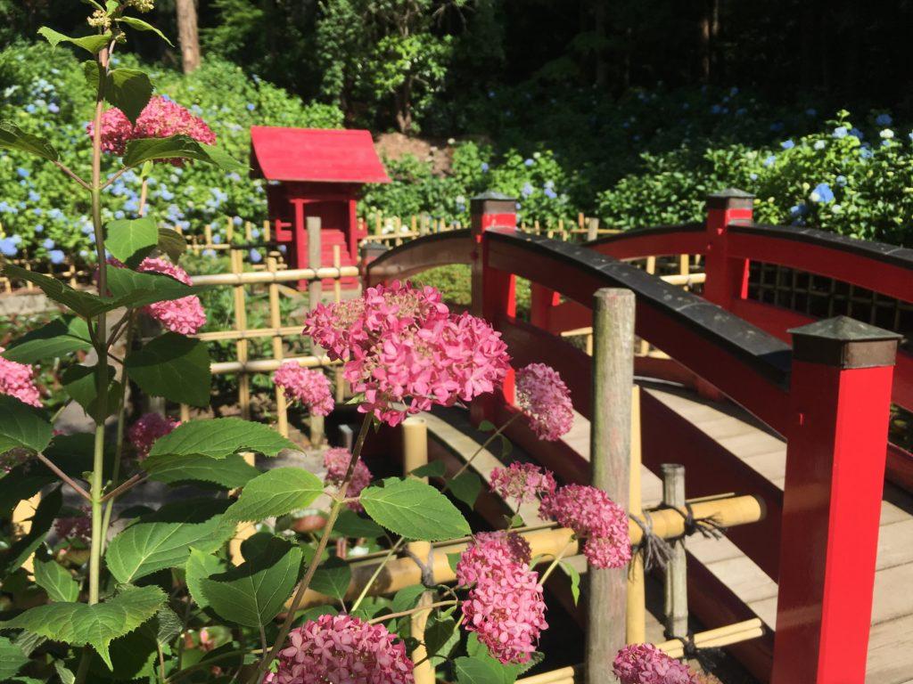 弘長寺のアジサイ赤