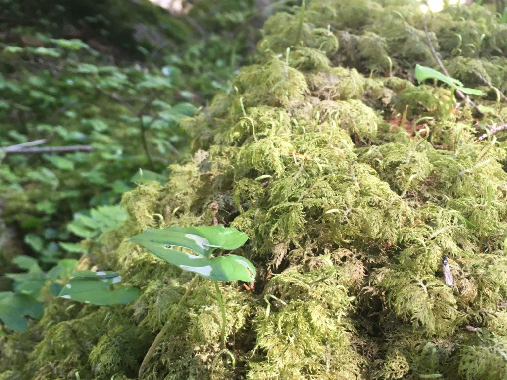 蓼科山の登山道の苔