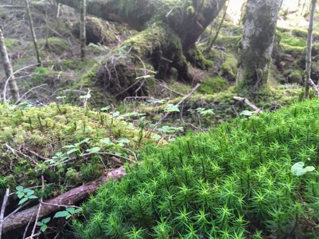 蓼科山の苔