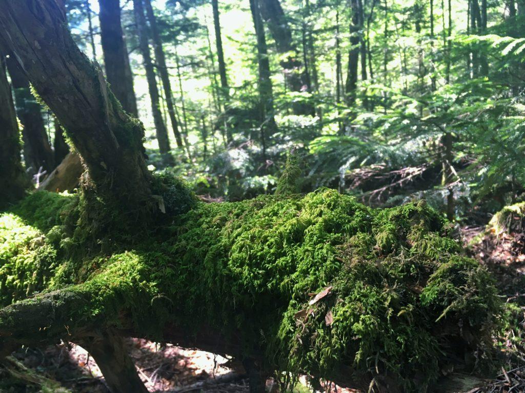 倒木に生えた白駒池の苔