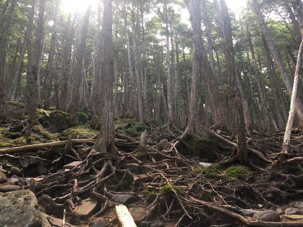 にゅうへの木の根だらけの登山道