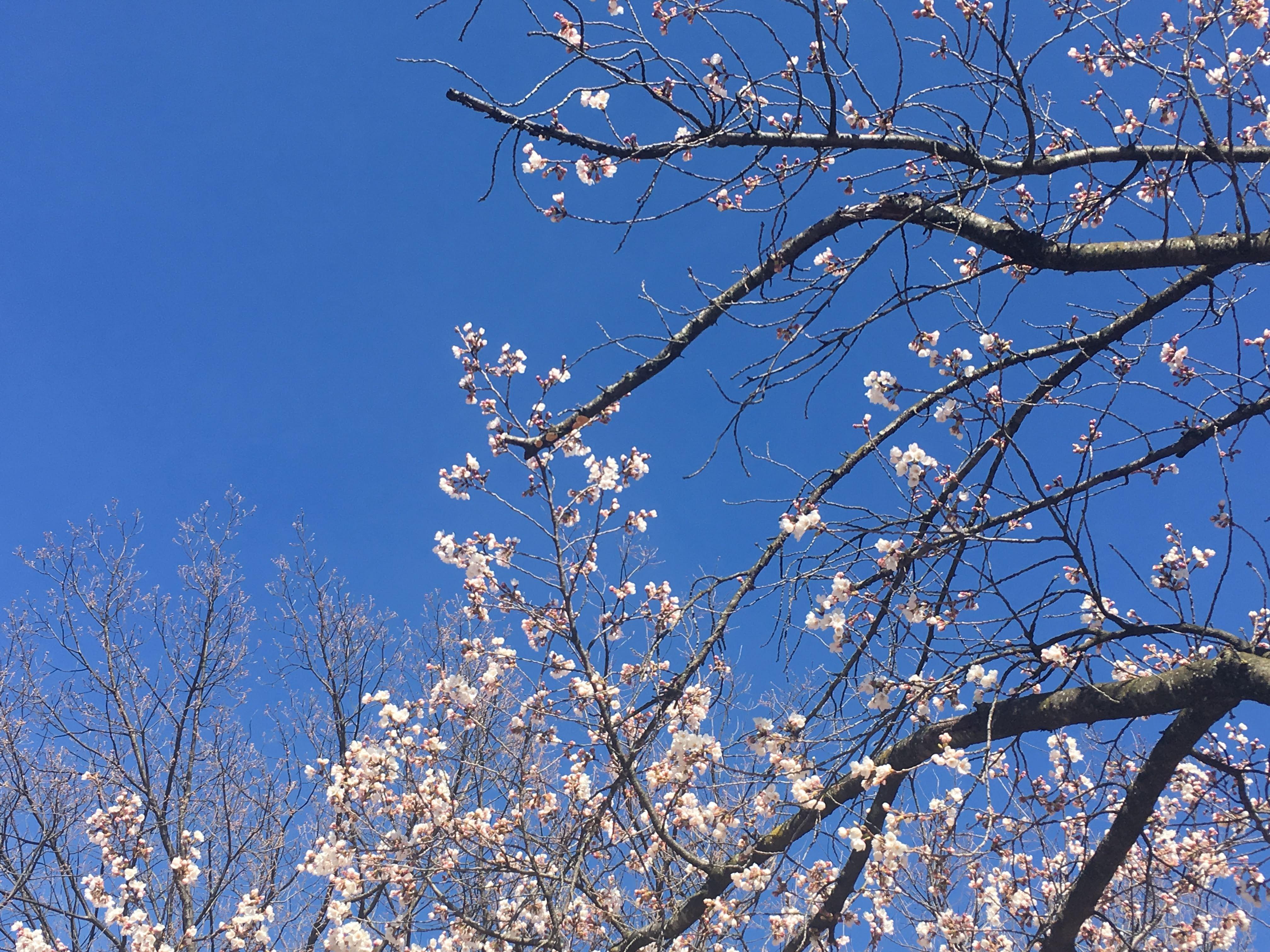 松本の桜と青空