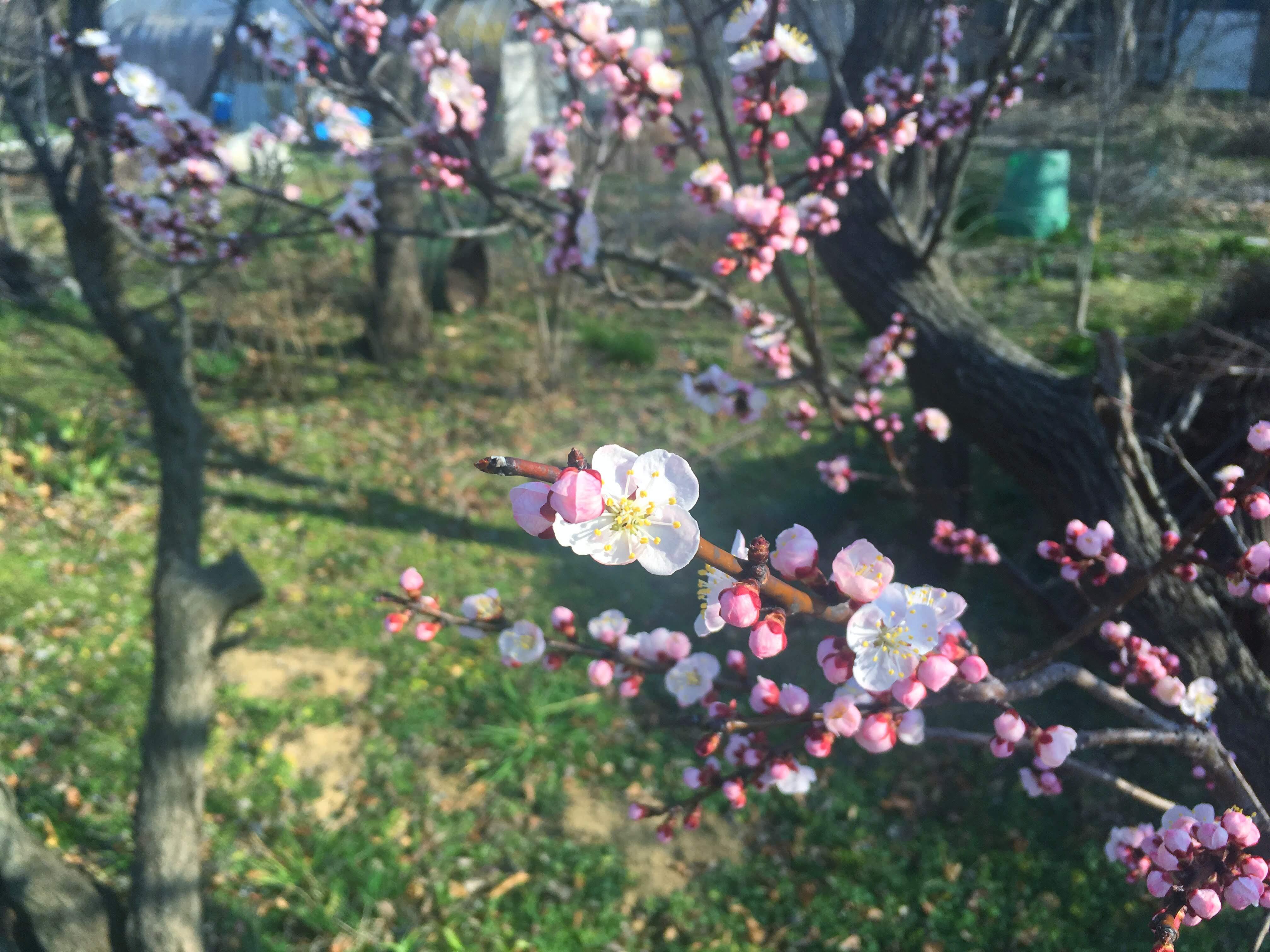 松本での仕事始め 梅の花